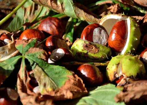 Fallen autumn leaves, conkers and conker shells in the warm sunlight.